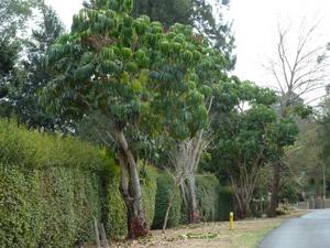 Schefflera trees